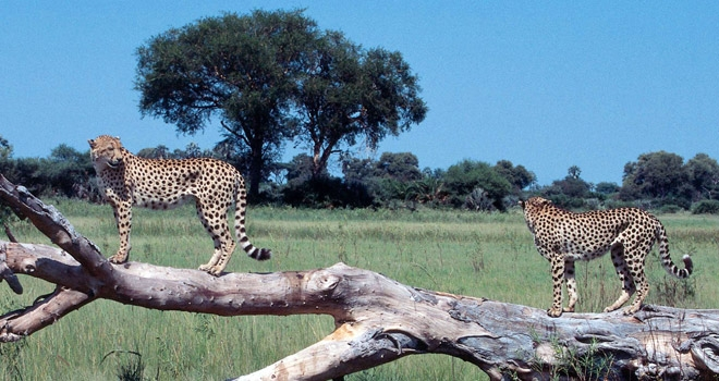 Cheetahs on a log at Little Vumbura Okavango island camp, Botswana