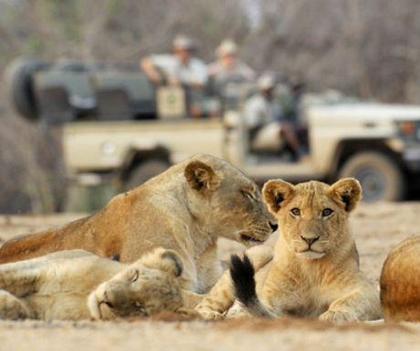 Zambia Safari Lions
