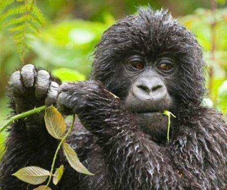 Gorilla tracking in Rwanda with Volcanoes Safaris