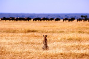 cheetah Big cat central, Serengeti, Tanzania the hunt