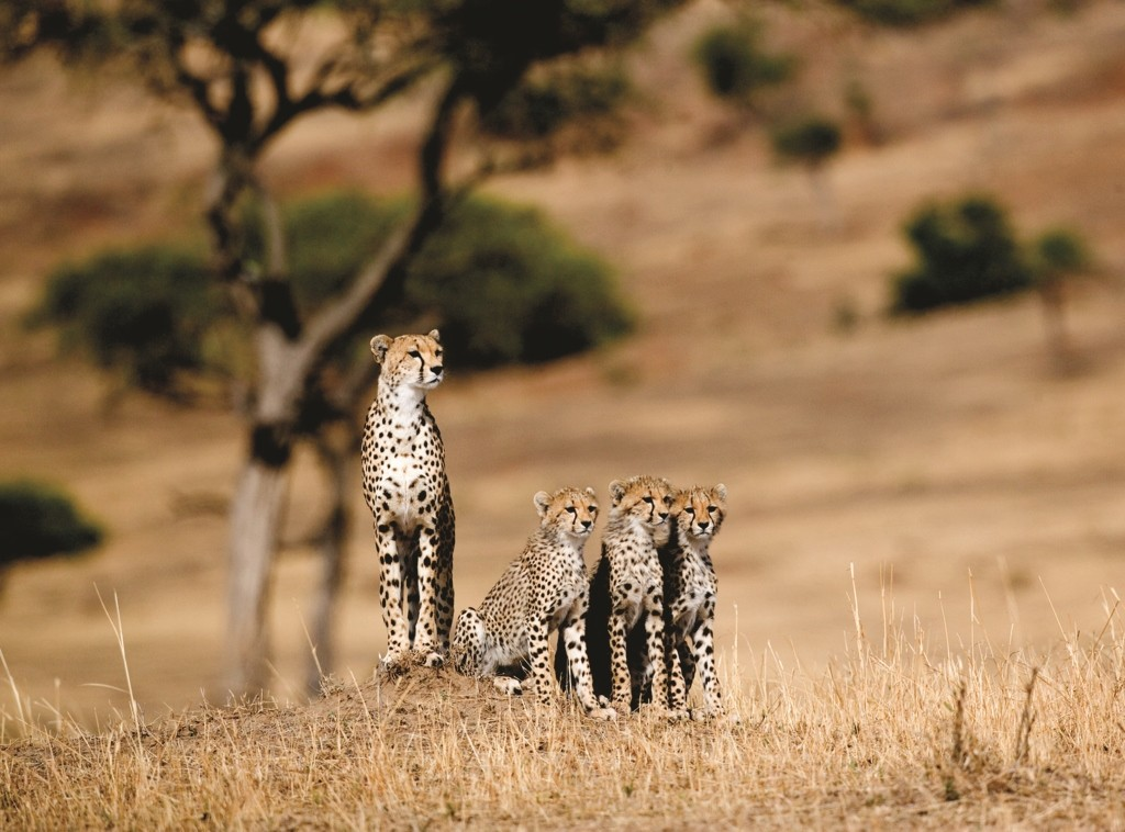 Cheetah and three cubs, Masai Mara, Kenya