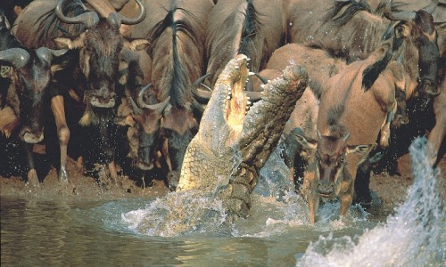 Crocodile and wildebeest Mara River