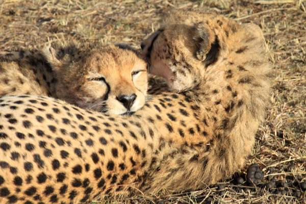 Malaika's cubs grooming after the hunt