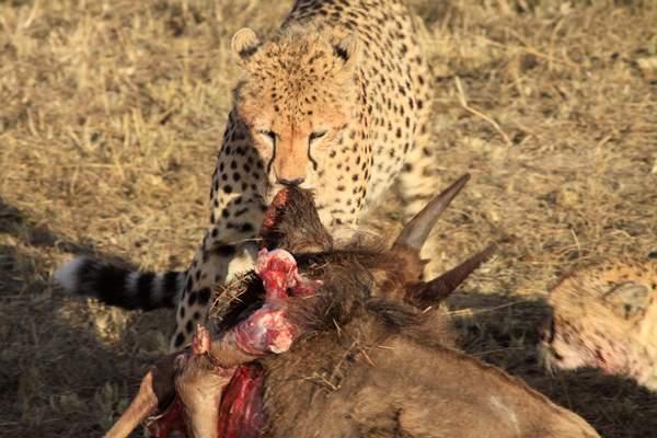 Malaika's Cub After The Hunt