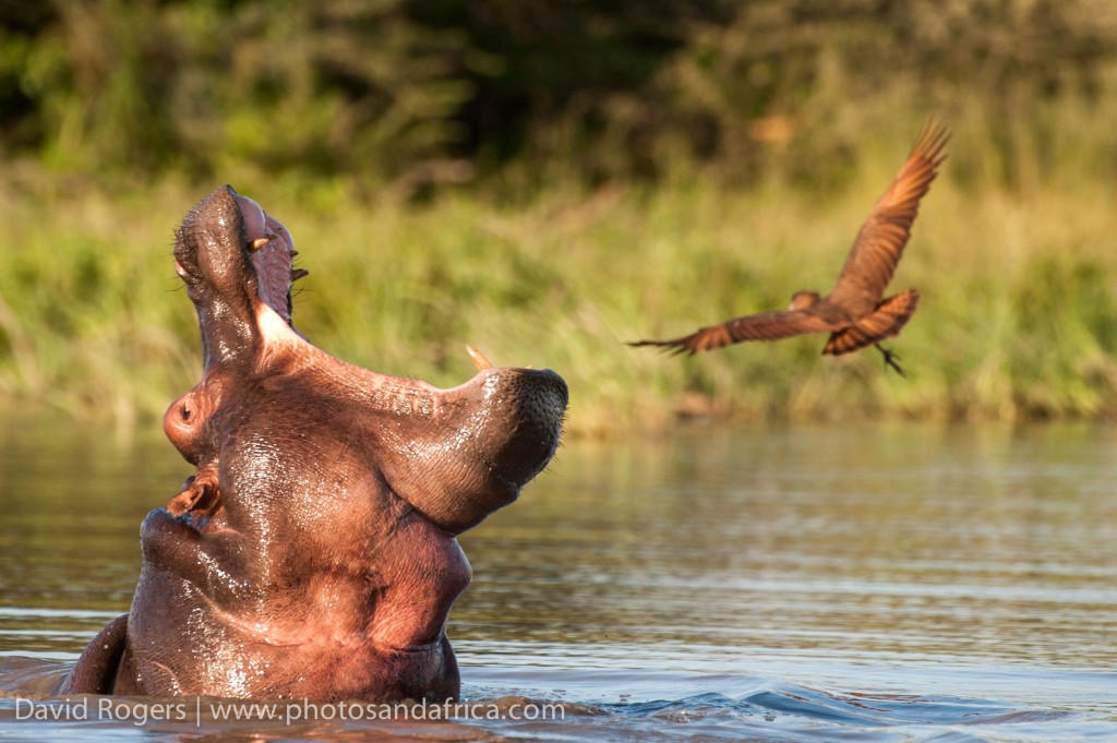 Yawning hippo, Image credit: David Rodgers