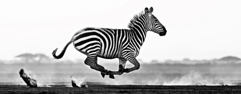 Black and White Running Zebra, Image credit David Yarrow