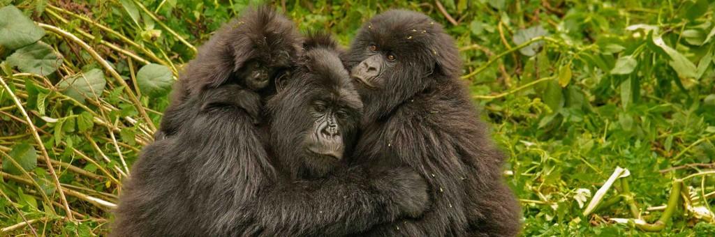 Gorillas group hug, Image credit: Volcanoes Safaris