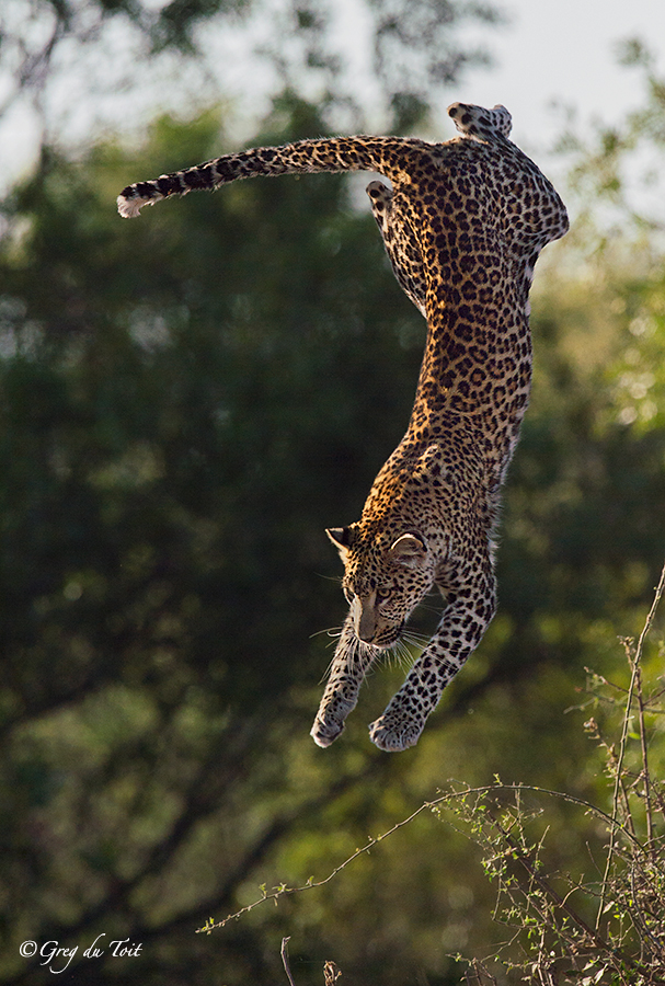 Leaping leopard jumping down from a tree midflight. Image credit Greg Toit