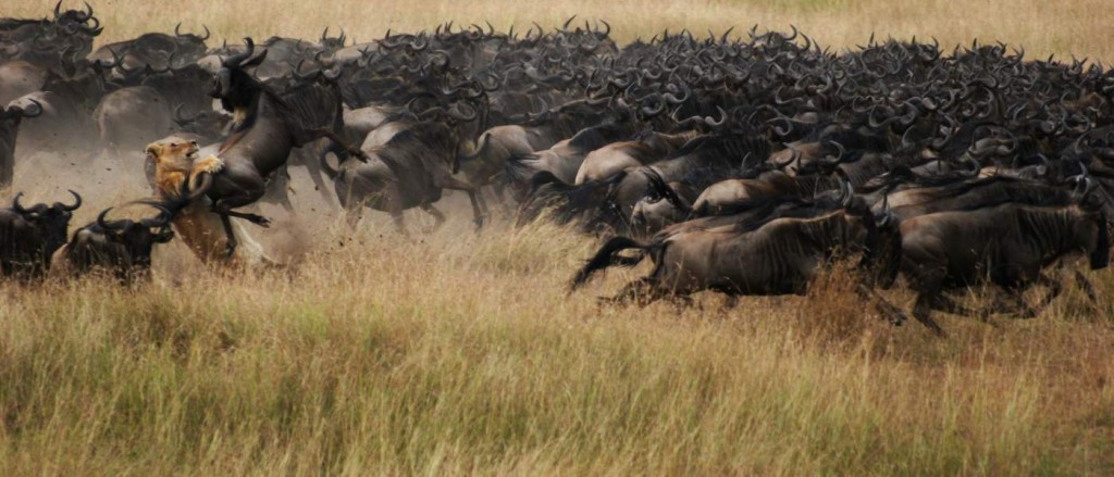 Lion On The Hunt In Herd Wildebeest
