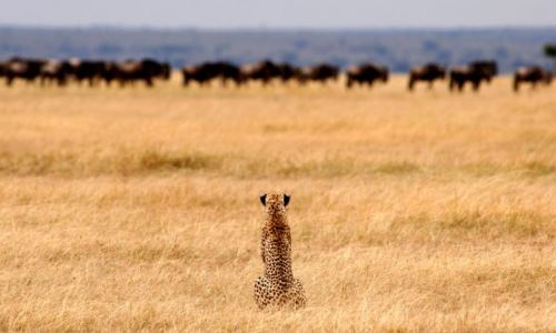 Cheetah On The Hunt Serengeti