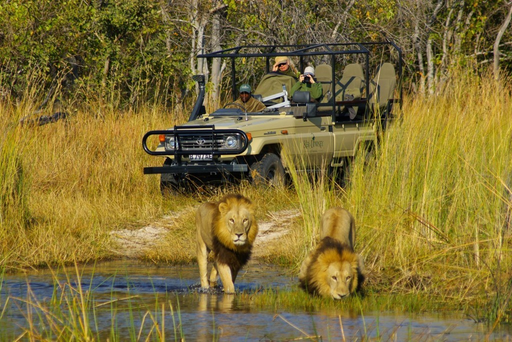 Okuti Moremi male lions  on a game drive, Okavango Delta, Botswana