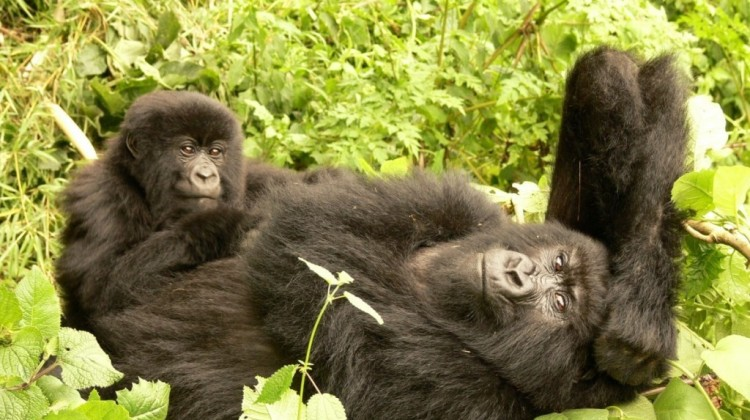 A Day In The Life Of Mountain Gorillas
