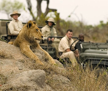 safari cameras for capturing - lion