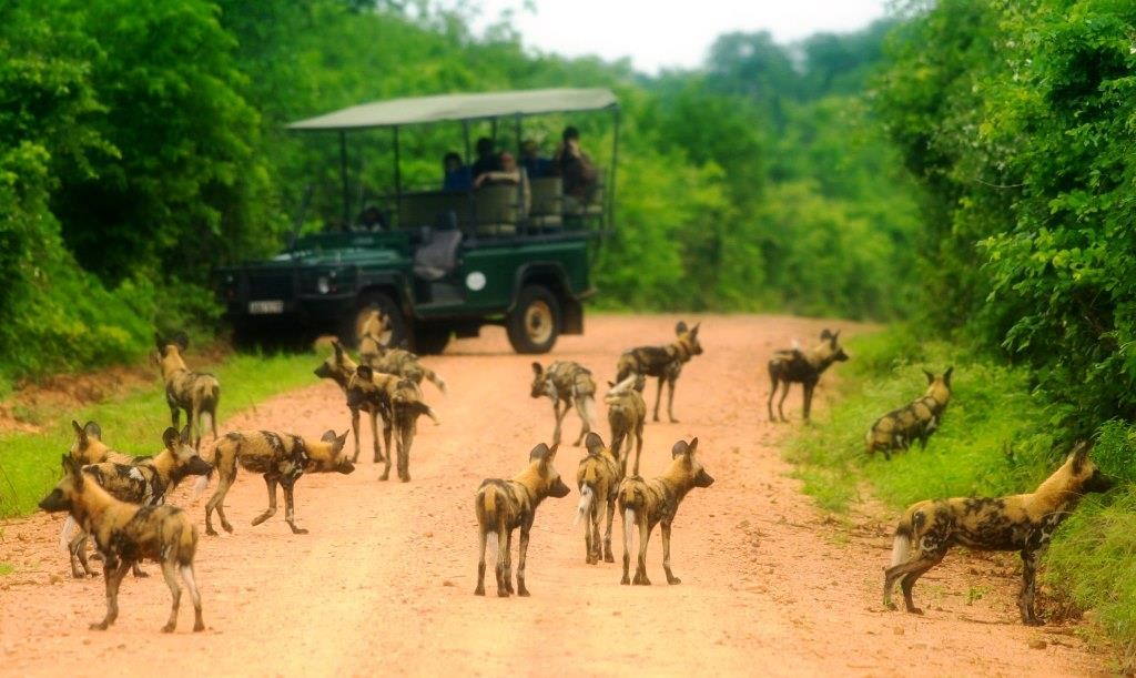 Wild dog pack, The Bushcamp Company, Zambia