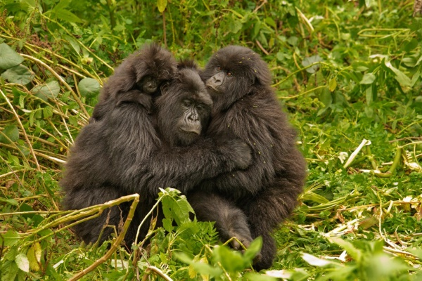 Gorilla group hug, image credit: Volcanoes Safaris, Rwanda