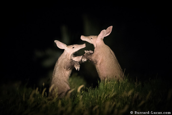 Two aardvark dance, captured by night camera trap. Image credit Will Burrard-Lucas