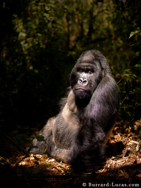 Silverback Gorilla by photographer Will Burrard-Lucas