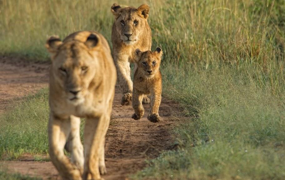A confident wild lion cub at Acacia House, Masai Mara, Kenya
