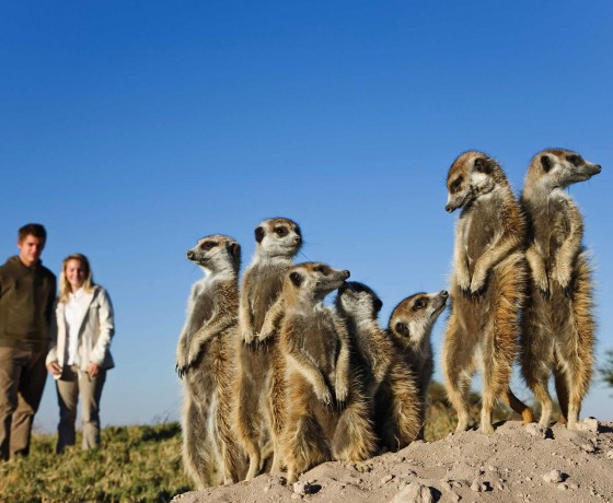 Cute meerkats in the Kalahari