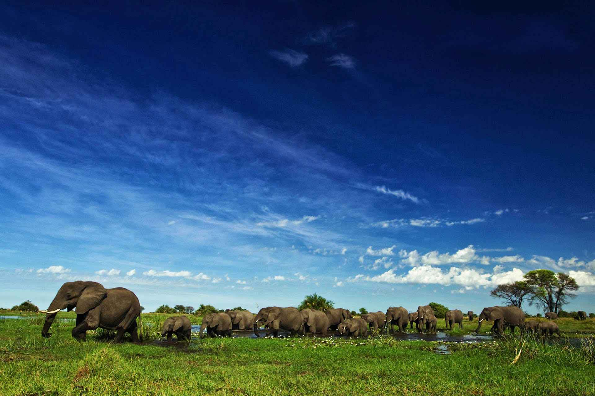 Botswana Duba Plains elephants