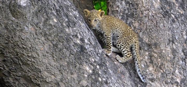 Chiawa Camp & Old Mondoro Zambia Wildlife - leopard cub in tree