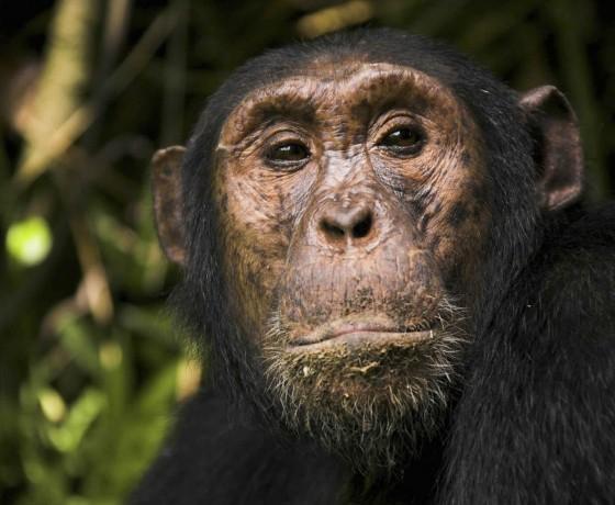 Chimpanzee action