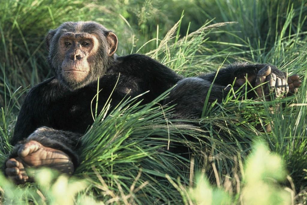 Chimpanzee, Ngamba Island, Kibale National Park Uganda safari