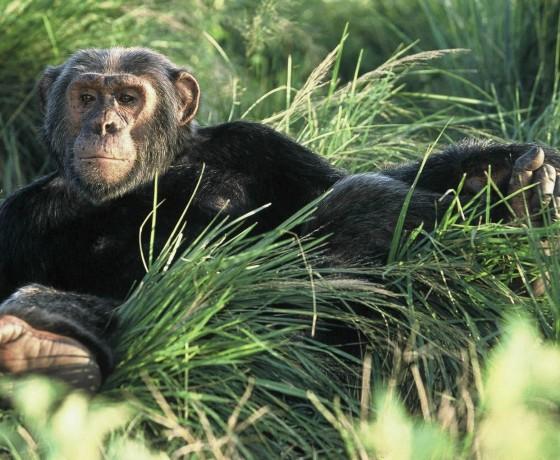 Track chimps in Kibale