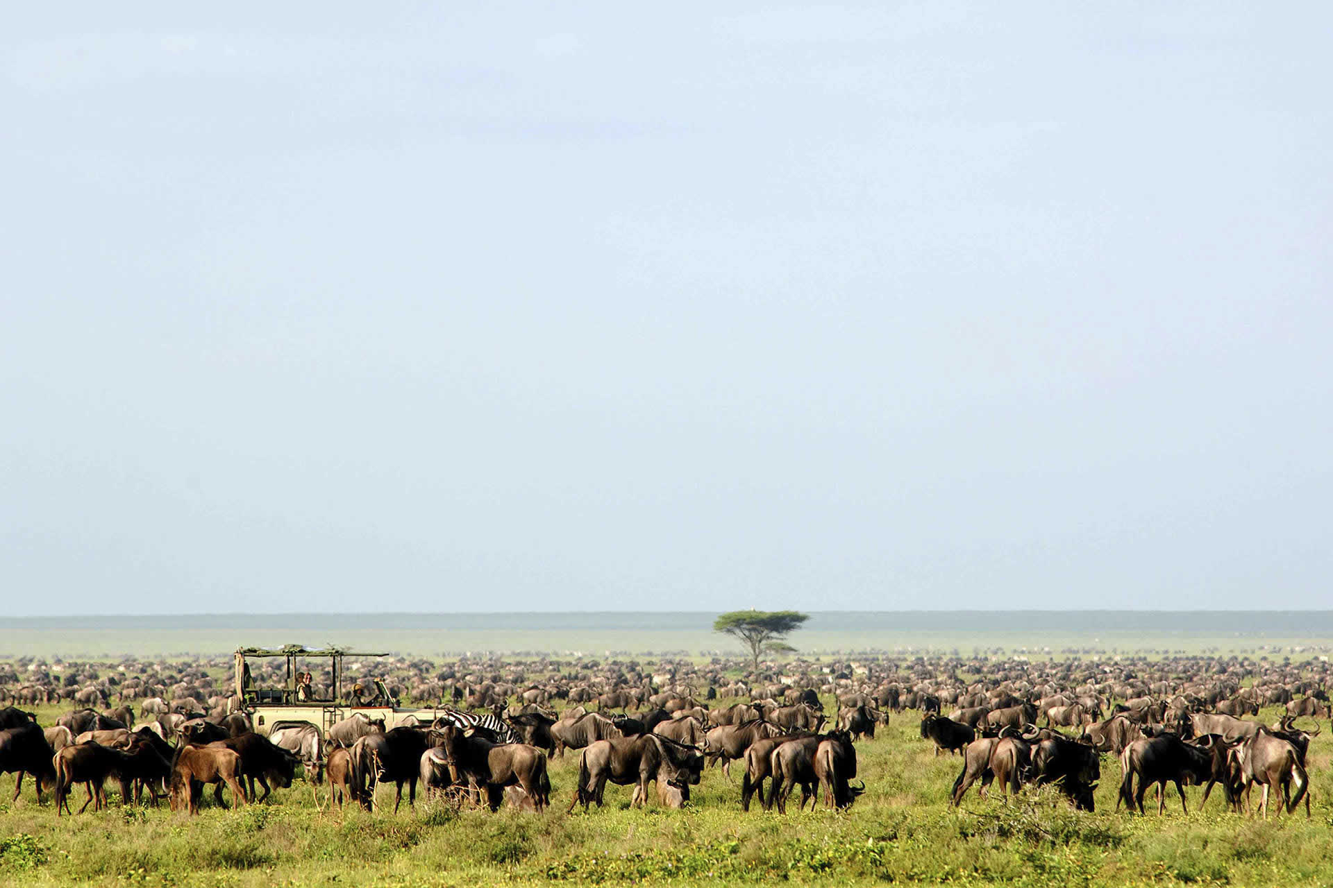 Wildebeest migration, Serengeti Safari Camp