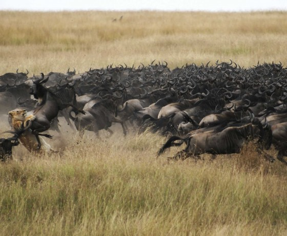 The wildebeest migration in Kenya