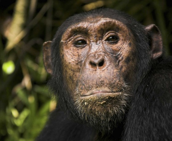 Chimpanzee tracking