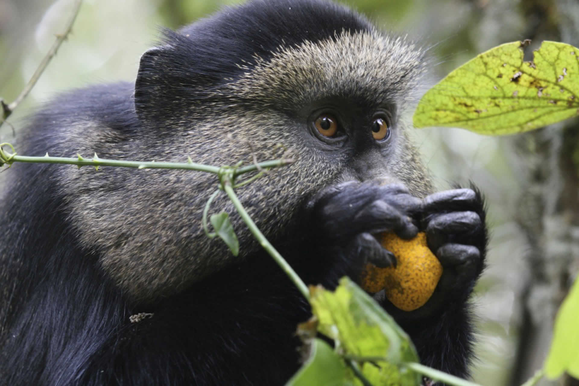 Primate Safaris, gorillas, chimpanzee and monkey safaris