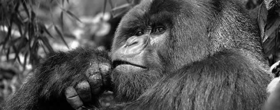 black and white gorilla close up - primate safaris
