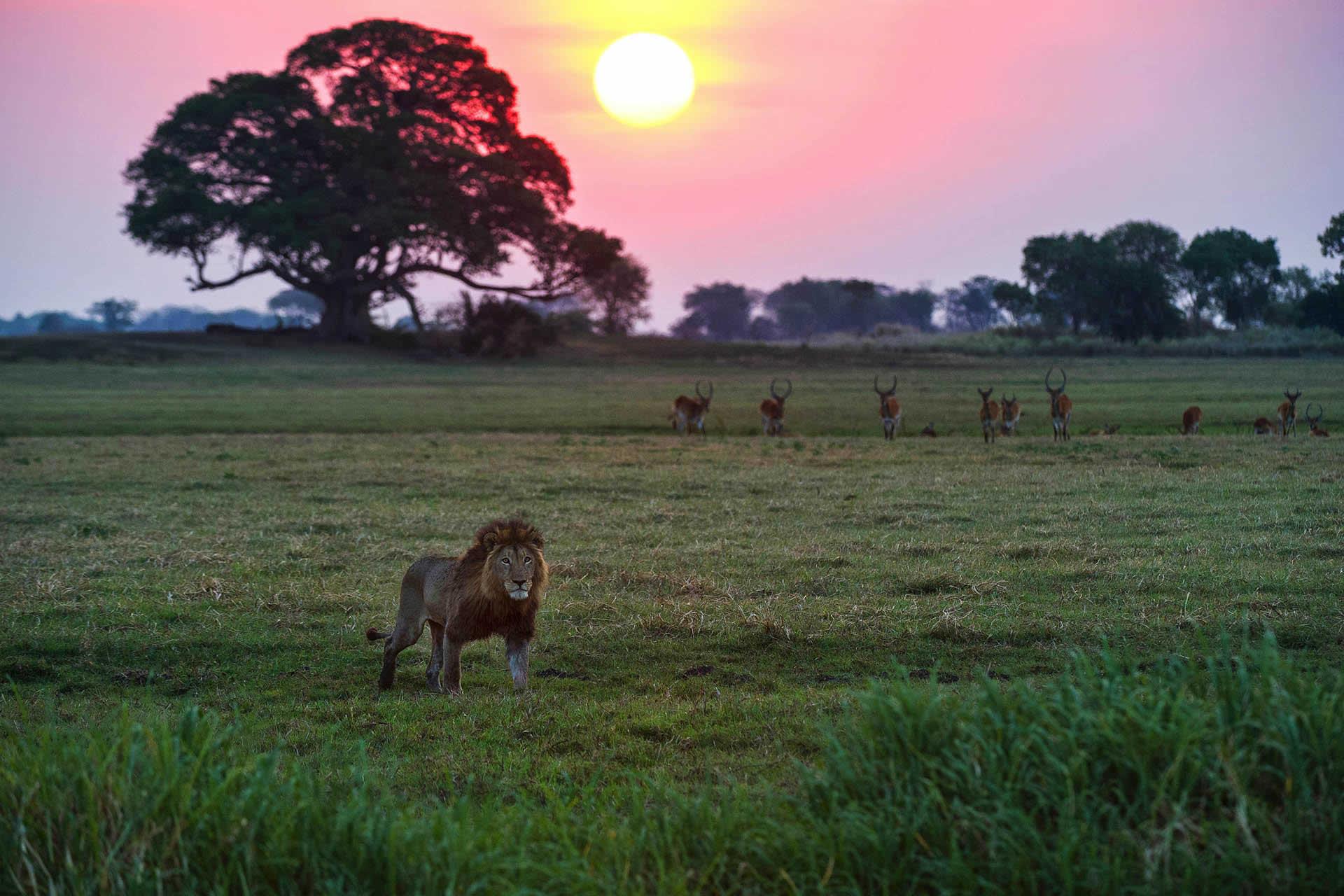 Zambia Busanga Bush Camp lion at sunset