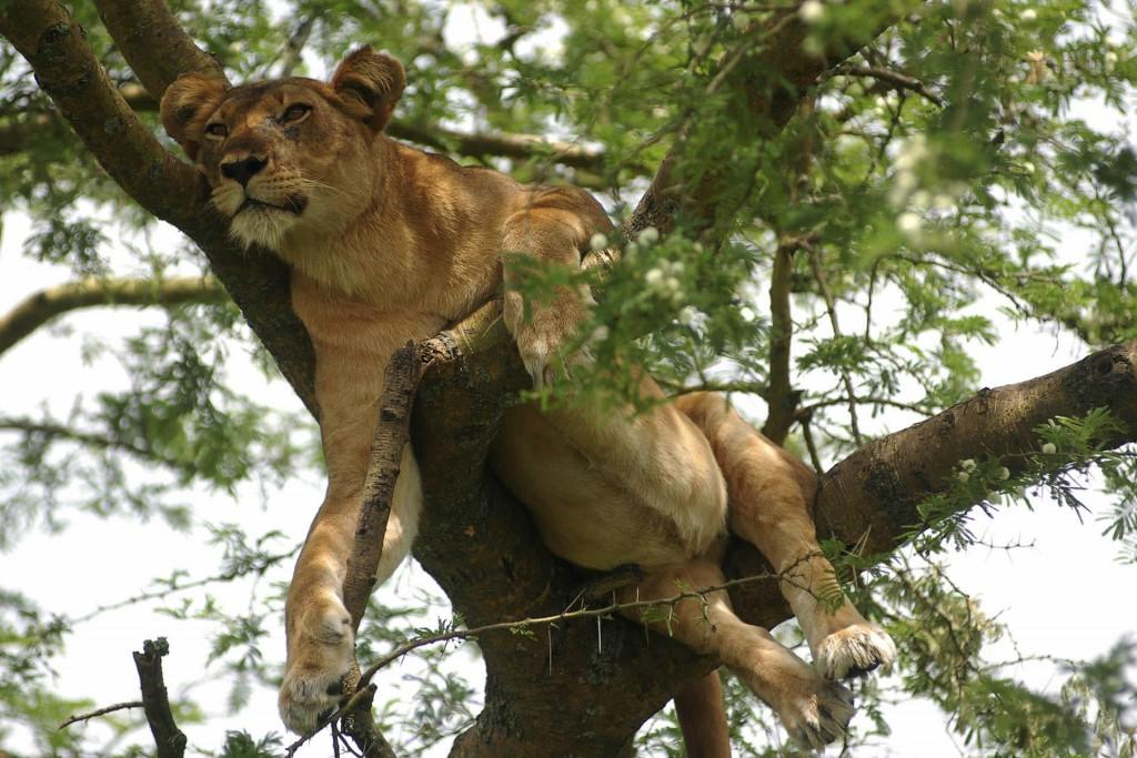 Ishaha Tree Climbing Lion, Queen Elizabeth National Park Uganda safari