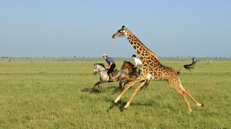 Horse riding with giraffe Ol Donyo Great Plains Kenya