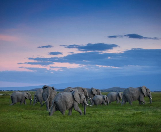 Dusty elephants of Amboseli