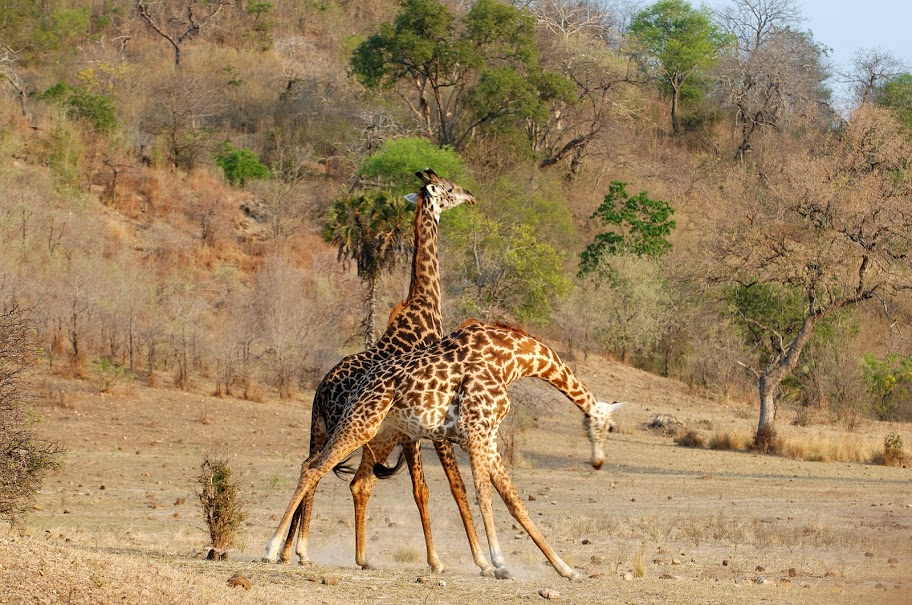 Giraffes galore at Kiba Point, Eastern Cape, South Africa