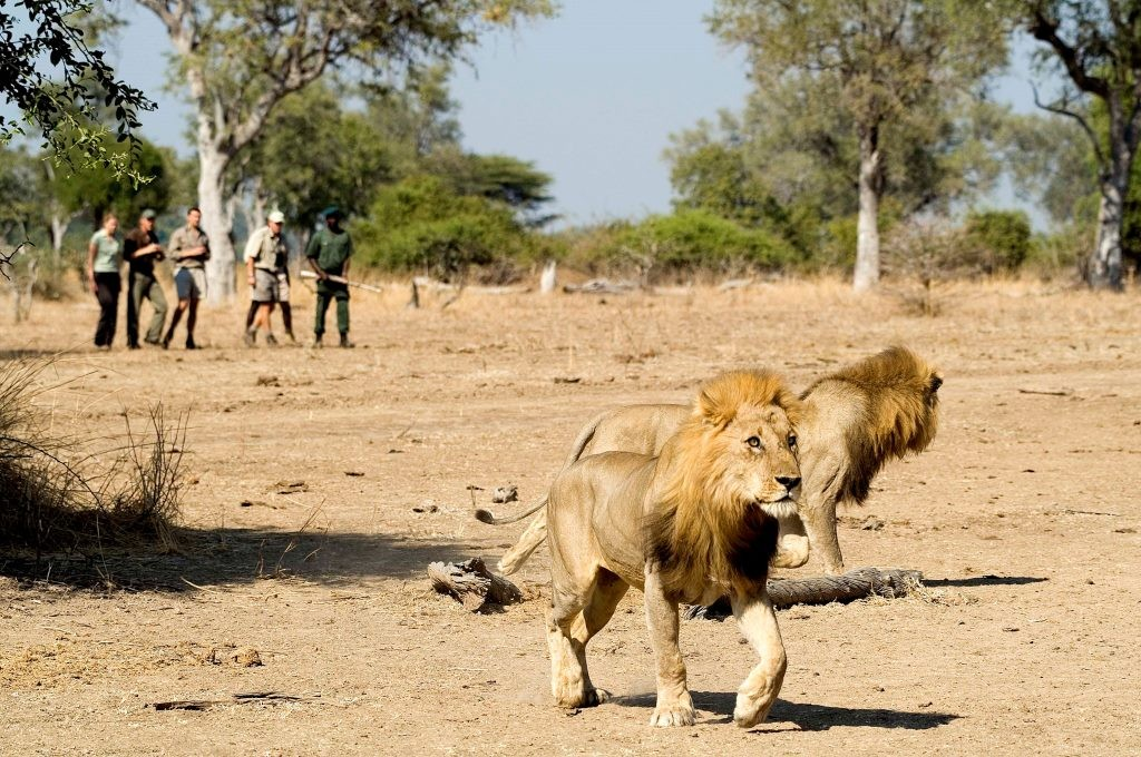 Walking safari with lions, Image credit Robin Pope Safaris
