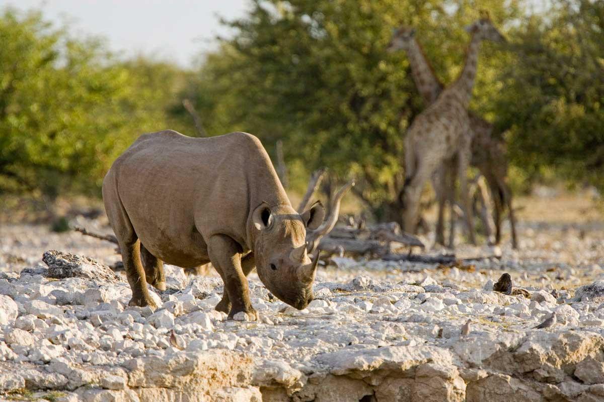 Namibia Little Ongava Rhino