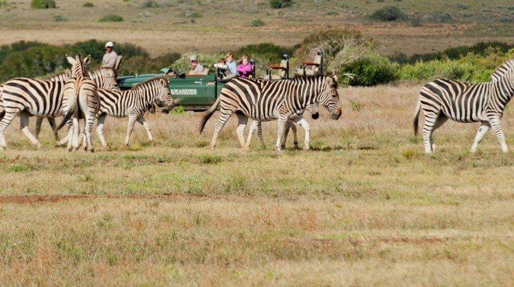 Family safari on a safari drive in Kwandwe with zebra, South Africa