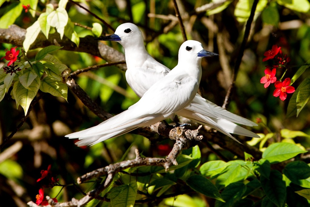 Pair of white Tern, Bird Island, Seychelles