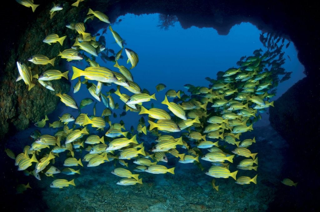 Dive with blue lined snappers, Desroches Island, Seychelles