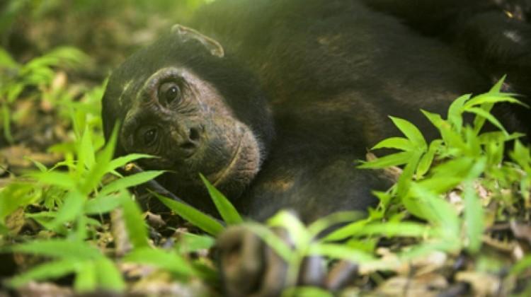 Mother and baby chimp Greystoke Mahale