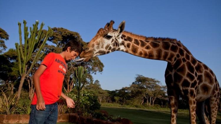 Boy being licked by a giraffe at Giraffe Manor, Nairobi, Kenya