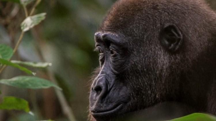 lowland gorilla safaris