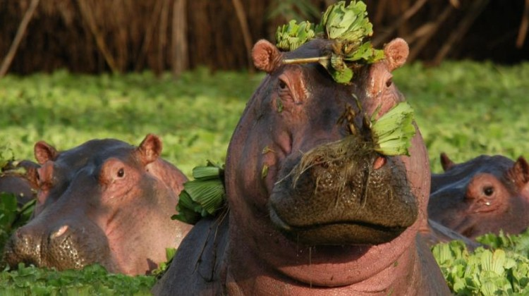 Hippo with water lilies on their head