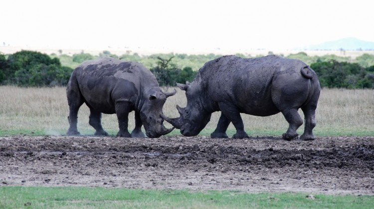 Two rhinos engaged in a fighting stand of at Ol Pejeta Laikipia Kenya