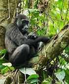 Western lowland gorilla mother and baby piggyback gorilla trekking, Congo Odzala Discovery Camps, Republic of Congo