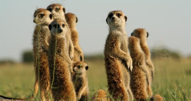 Camp Kalahari Meerkats botswana